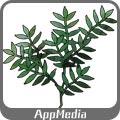 トネリコの枝